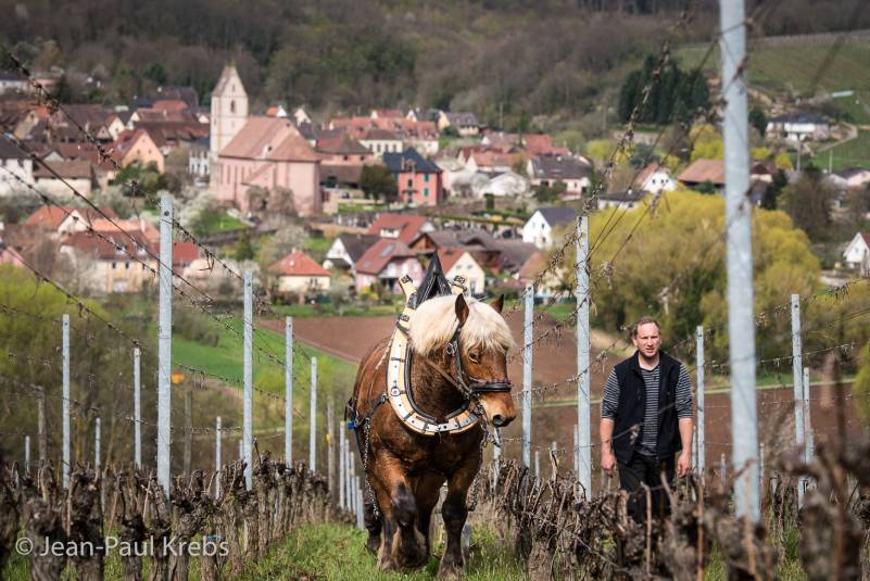 This winemaker use the horse power instead of machine to take care of his vineyard